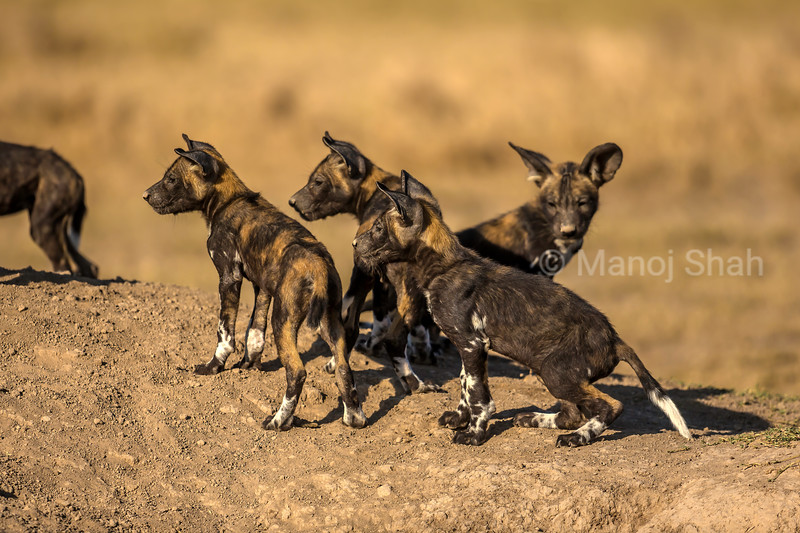 African wild dog Puppies waiting at the den for elders to come from a hunt in Laikipia savanna.