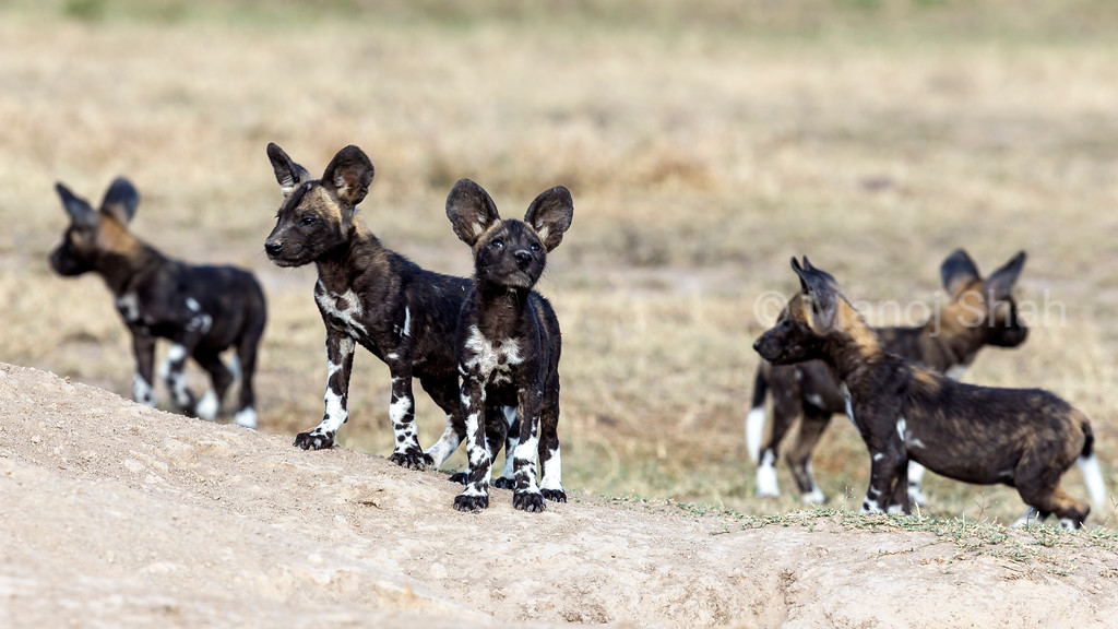 Adult Wild Dog puppies playing at their densite.