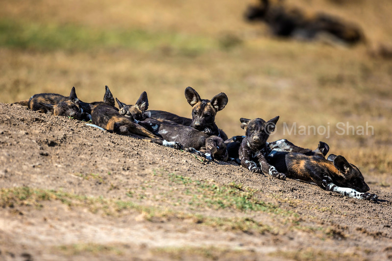 African wild dog puppies waiting for the adults outside the den.