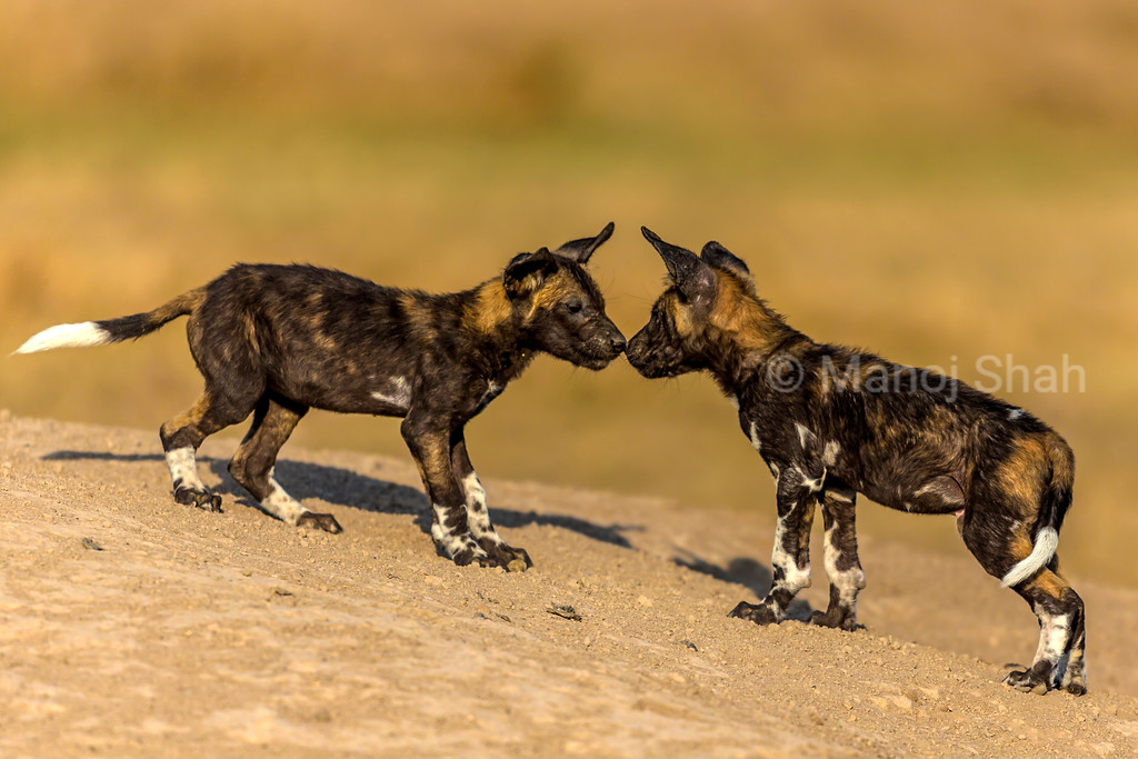 African wild dog puppies greeting.