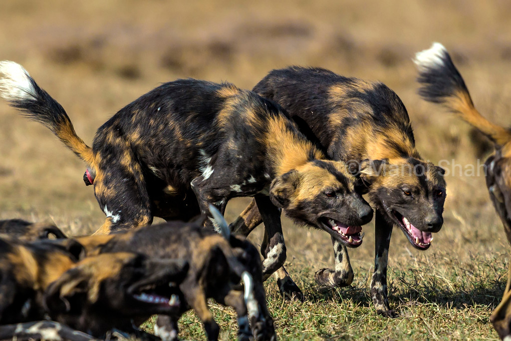 African wild dogs greeting.