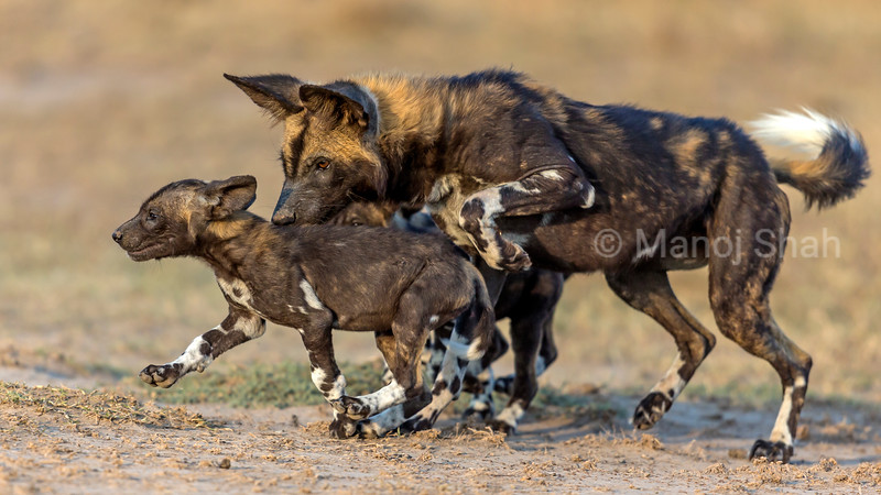 Adult Wild Dog adult smelling puppy.
