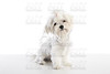 Maltichon puppy Bichon Maltese on white