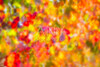 autumn colorful golden red vineyard leaves