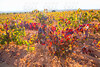 Autumn golden red vineyards in Utiel Requena