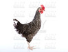 Coucou Cou Marans hen from France