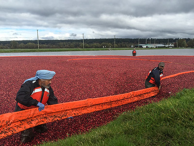 Cranberry Harvest Celebration in Delta BC..These cranberries, are wet harvested with varied colors, are destined for processing into juice, flavoring, canned goods and other processed foods.