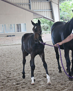 AHS 20 Snickers filly 9945