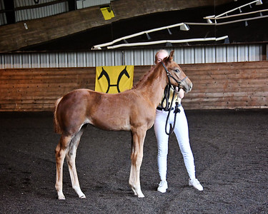 AHS 20 Delphina filly 8922