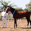 "AHS CH MPT Sophia Rose : Welcome to the Lucchetti Ranch AHS INspection Photo Galleries.   This year I've decided to do something a little different.  I've had numerous requests for digital images to use for websites, facebook, advertising, etc.  So I've come up with ""Inspection Packages"".  Foals $75 for a Photo CD (includes all of the inspection photos for that foal), Mares $75 for a Photo CD (includes all of the inspection photos for that mare) & Mare - MPT $150 for a Photo CD (includes all of the inspection photos for that mare).  Photo CD's are high res. images. If you would like a Photo CD, send me an email at  tamcamera@hotmail.com. Prints and other cool stuff can be ordered directly from this site and individual digital images can be ordered by emailing me - 1 high res. image $30. I really want you to have your photos and be able to enjoy them as you wish.  I will also send AHS any image you wish to submit for the magazine & Breed Book. Cheers, Tamara"