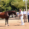 "DONNA FATALE LR : Welcome to the Lucchetti Ranch AHS INspection Photo Galleries.   This year I've decided to do something a little different.  I've had numerous requests for digital images to use for websites, facebook, advertising, etc.  So I've come up with ""Inspection Packages"".  Foals $75 for a Photo CD (includes all of the inspection photos for that foal), Mares $75 for a Photo CD (includes all of the inspection photos for that mare) & Mare - MPT $150 for a Photo CD (includes all of the inspection photos for that mare).  Photo CD's are high res. images. If you would like a Photo CD, send me an email at  tamcamera@hotmail.com. Prints and other cool stuff can be ordered directly from this site and individual digital images can be ordered by emailing me - 1 high res. image $30. I really want you to have your photos and be able to enjoy them as you wish.  I will also send AHS any image you wish to submit for the magazine & Breed Book. Cheers, Tamara"