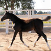 "Devon Heir-Winona Filly : Welcome to the Lucchetti Ranch AHS INspection Photo Galleries.   This year I've decided to do something a little different.  I've had numerous requests for digital images to use for websites, facebook, advertising, etc.  So I've come up with ""Inspection Packages"".  Foals $75 for a Photo CD (includes all of the inspection photos for that foal), Mares $75 for a Photo CD (includes all of the inspection photos for that mare) & Mare - MPT $150 for a Photo CD (includes all of the inspection photos for that mare).  Photo CD's are high res. images. If you would like a Photo CD, send me an email at  tamcamera@hotmail.com. Prints and other cool stuff can be ordered directly from this site and individual digital images can be ordered by emailing me - 1 high res. image $30. I really want you to have your photos and be able to enjoy them as you wish.  I will also send AHS any image you wish to submit for the magazine & Breed Book. Cheers, Tamara"