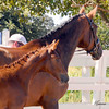 "Domiro-D'Lilah Filly : Welcome to the Lucchetti Ranch AHS INspection Photo Galleries.   This year I've decided to do something a little different.  I've had numerous requests for digital images to use for websites, facebook, advertising, etc.  So I've come up with ""Inspection Packages"".  Foals $75 for a Photo CD (includes all of the inspection photos for that foal), Mares $75 for a Photo CD (includes all of the inspection photos for that mare) & Mare - MPT $150 for a Photo CD (includes all of the inspection photos for that mare).  Photo CD's are high res. images. If you would like a Photo CD, send me an email at  tamcamera@hotmail.com. Prints and other cool stuff can be ordered directly from this site and individual digital images can be ordered by emailing me - 1 high res. image $30. I really want you to have your photos and be able to enjoy them as you wish.  I will also send AHS any image you wish to submit for the magazine & Breed Book. Cheers, Tamara"