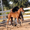 Domiro-MS Eleganza Colt : Welcome to the Lucchetti Ranch AHS INspection Photo Galleries.  