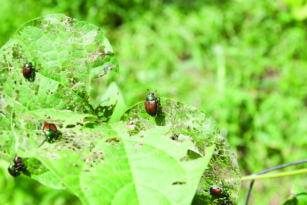 Japanese Beetles - JD