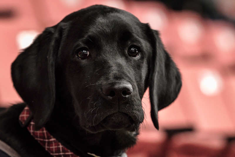 Toby, 6 months, Assistance Dog in Training