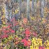 Fall Colors in Aspen Grove