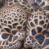 Hawkwing Mushrooms