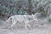 Coyote not finding bunnies.