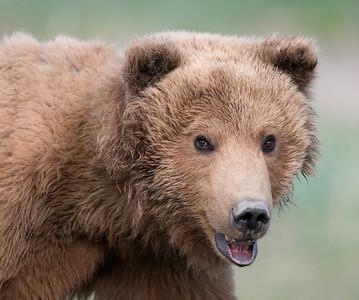 This shot makes the bear look like a pet Golden Retriever