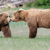 Big blond boar bear checking out a lady.