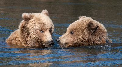 Bear buddies crossing the river.