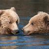 Bear buddies crossing the river.