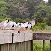 Foster terns
