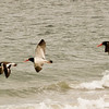 Oyster catchers in flight