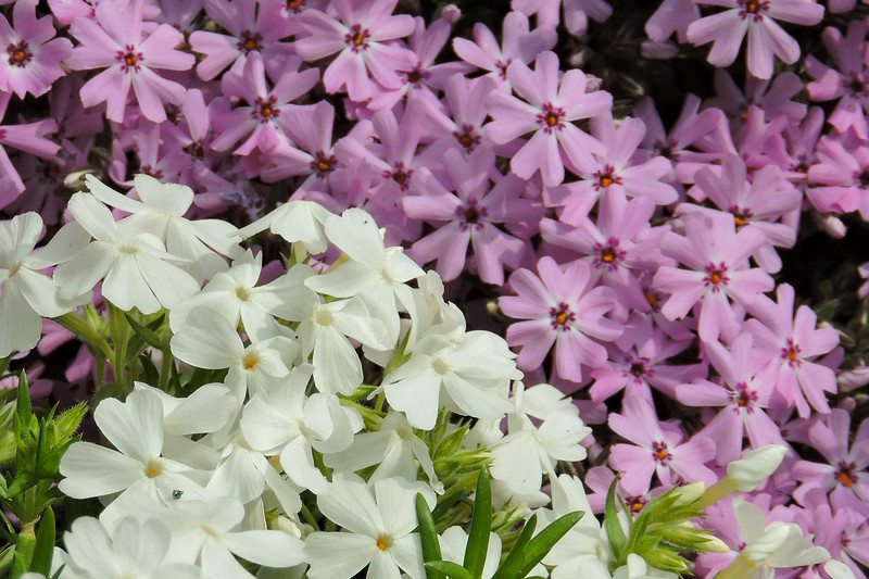 Purple and white flowers in Georgetown