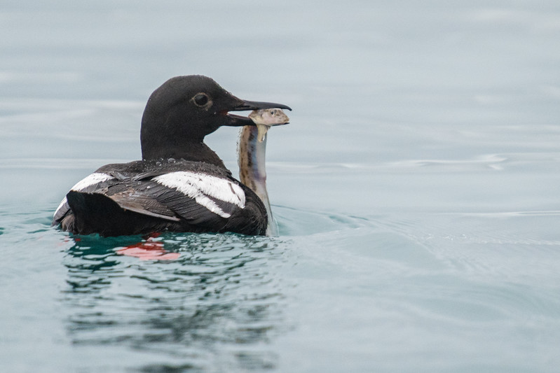 Pigeon guillemot with fresh catch.