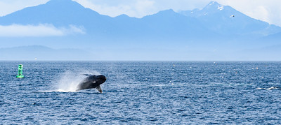 Humpback whale in the Chatham Strait.