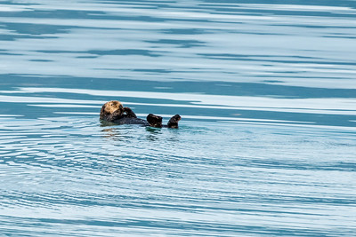 Sea otter resting or eating?