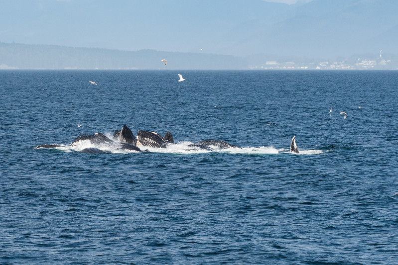 Humpback whales and bubble net feeding.