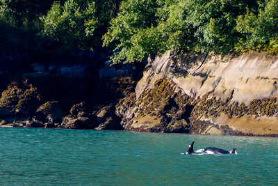 Two orcas.