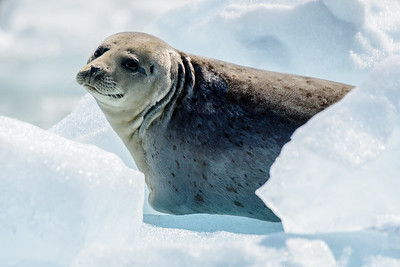 Harbor seal. Common. Many rest on the ice flows from the glaciers.
