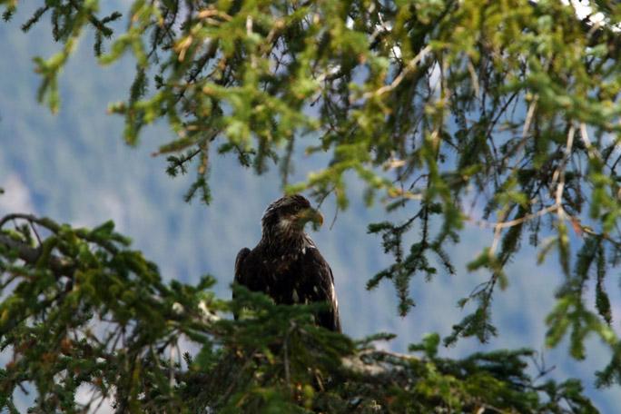 eagle0077