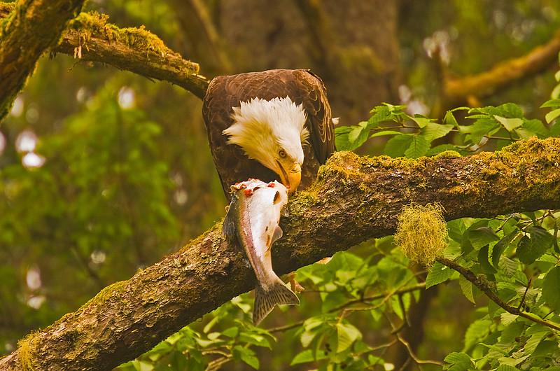 Eagle&Fish2