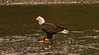 Eagle Fishing2