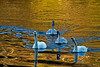 Swans 1-30-11