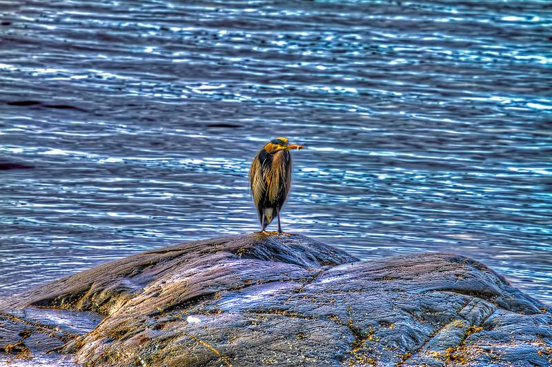 Blue Heron 3-10-14