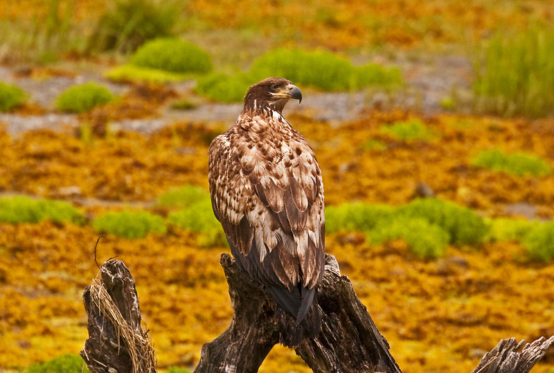 Young Eagle6-9-09 2