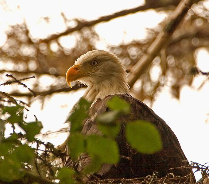 Trusting Eagle