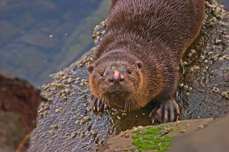 Scarred Otter