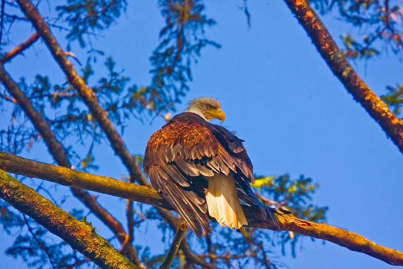 Morning Eagle