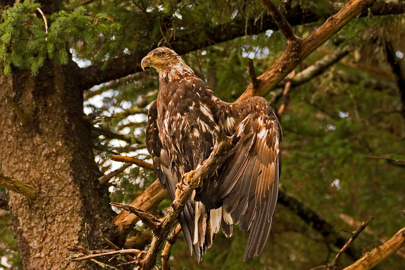 Young Wet Eagle2