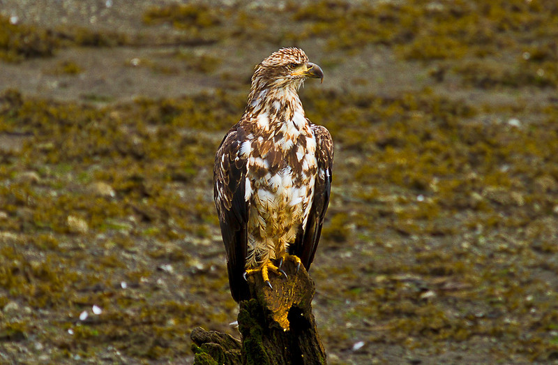 Young Tagged Eagle8-29-10B