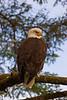 Patient Eagle