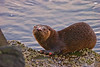 Scarred Otter2