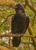 Raven A